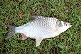 The Barb of Cyprinidae fish. — Photo