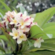 Stock Photo: Frangipani flowers are yellowish white on tree.