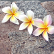 Stock Photo: Frangipani flowers are yellowish white on stone Background.
