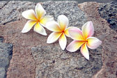 Frangipani flowers are yellowish white on stone Background. — Stock Photo