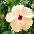 Stock Photo: Yellow hibiscus flower.