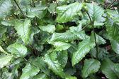 Plumbago Zeylanica L is a Herb. — Stock Photo
