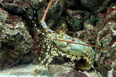 Crayfish spiny rock lobster being sheltered reef area. — 图库照片