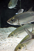 Atlantic tarpon Fish in Aquarium. — Stock Photo
