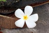 Frangipani flowers are yellowish white. — Stock Photo