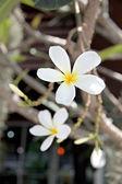 White Frangipani or Leelawadee. — Stock Photo