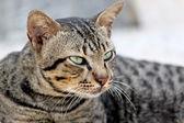 Thai Cats Staring. — Zdjęcie stockowe