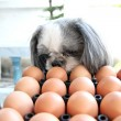 The Dog watching egg. — Foto de Stock