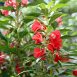 Garden Balsam or Rose Balsam — Stock Photo