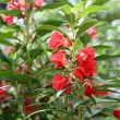 Stock Photo: Garden Balsam or Rose Balsam