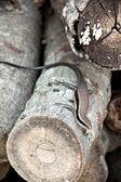 Small iguana. — Stock Photo