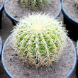 Spherical Cactus in jardiniere. — Stock Photo