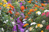 Colorful of Lantana Flowers. — Foto de Stock