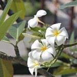 White Plumeria or Frangipani. — Stock Photo