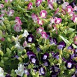Stock Photo: Pink and purple color of Garden Balsam.