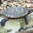 Turtle in relaxing. — Stock Photo