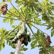 Papaya fruit on tree. — Stock Photo #38689085