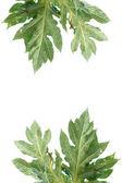 árbol de papaya verde hojas de aislados. — Foto de Stock