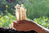 White mushrooms on hand. — Foto de Stock