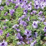 Purple Petunia. — Stock Photo #39168893
