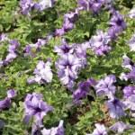 Purple Petunia. — Stock Photo #39169963