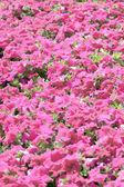Pink petunia blossom. — Stock Photo