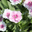 Light Pink Dianthus flower. — Foto de stock #39174605