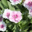Light Pink Dianthus flower. — Foto Stock #39174605