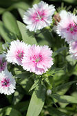 Light Pink Dianthus flower. — Stockfoto