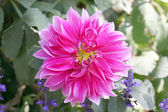 Pink mix purple dahlia. — Stock Photo