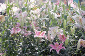 Pink Lily in the garden. — Stock Photo