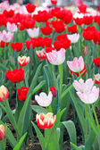 Red Tulip in the garden. — Stock Photo