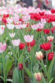 Tulips in the garden. — Stock Photo
