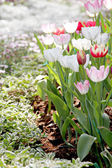 Tulips in the garden. — 图库照片