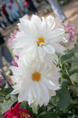 White dahlia. — Stock Photo