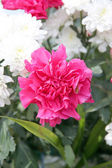 Pink carnation. — Stock Photo