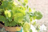 Azorella asiatica in jardiniere. — Stockfoto