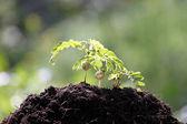 Tamarinde zaailingen groeiende. — Stockfoto