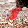 Stock Photo: Head shot of male turkey.