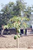 Papája stromy v plantation. — Stock fotografie