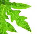 Green papaya leaves. — Stockfoto