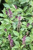 Basil leaf. — Stock Photo