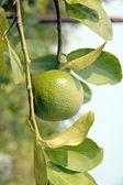 Green lemon on tree. — Foto de Stock