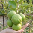 ストック写真: Hand and Green lemon on tree.
