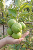 Hand and Green lemon on tree. — Stock Photo