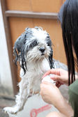 Dog taking a shower with soap and water. — Stockfoto