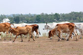 Many cows are walking in farm. — Stock Photo