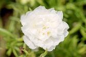White Common Purslane flower in the garden. — Stockfoto