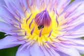 Purple macro Petals of lotus. — Stock Photo