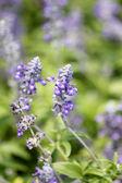 Purple lavender flowers. — Stock Photo